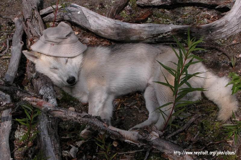 http://www.neystadt.org/john/album/Kamchatka/DSCN5826-Red-Hood-Wolf.JPG